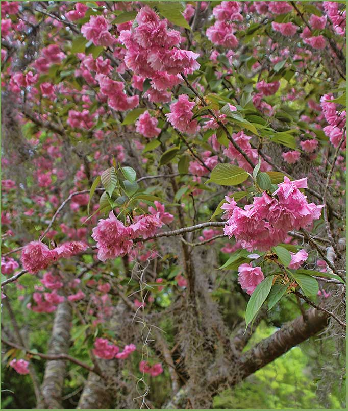 Showy Crabapple tree