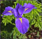 Iris at Brookgreen Gardens
