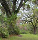 Spring trees Brookgreen Gardens