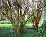 Crep Myrtle in Brookgreen Gardens
