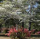 Brookgreen Dogwoods and Azaleas in bloom