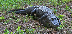 Alligator at Brookgreen Gardens