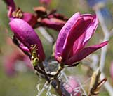 Loebner Magnolia in flower