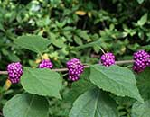 Purple Beauty Berries