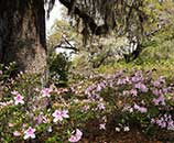 Azaleas in Brookgreen Gardens