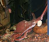 Octopus in aquarium tank