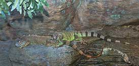 Lizards zt Ripley Aqurium at Broadway at the Beach