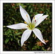 Atamasco (Easter Lily) growing wild at Myrtle Beach State Park