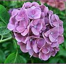 Hydrangea at Brookgreen Gardenss