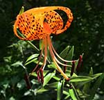 Nature's Basket Tiger Lily