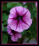 Petunia still in bloom