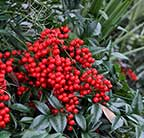 red berries at Brookgreen Gardens