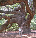Angels Tree - Johns Island
