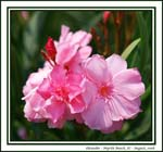 Oleander - beautiful but deadly